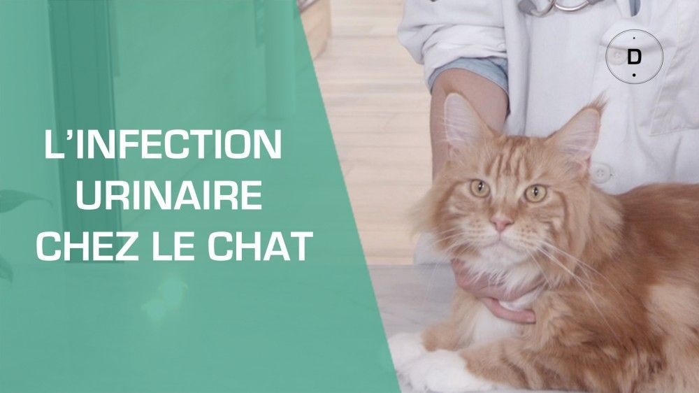 L'infection urinaire chez le chat