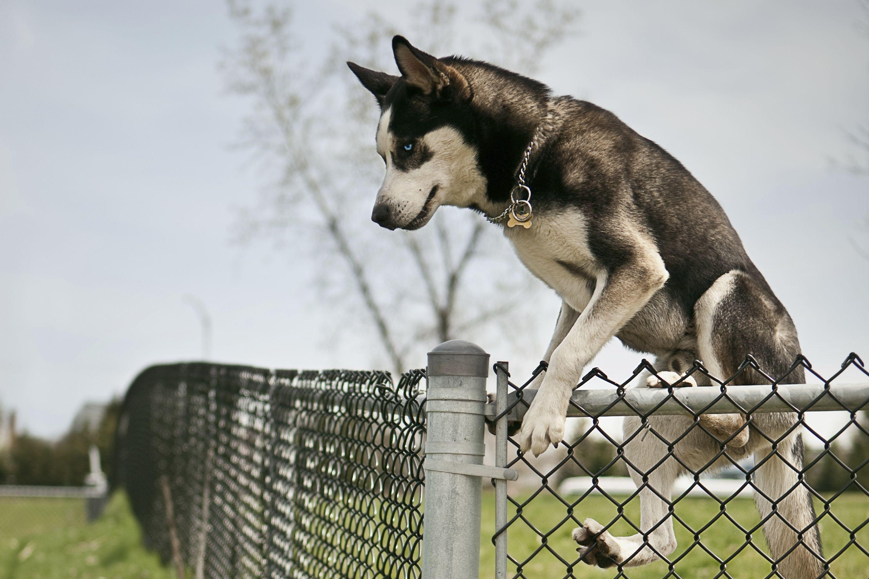 dressage chien fugueur
