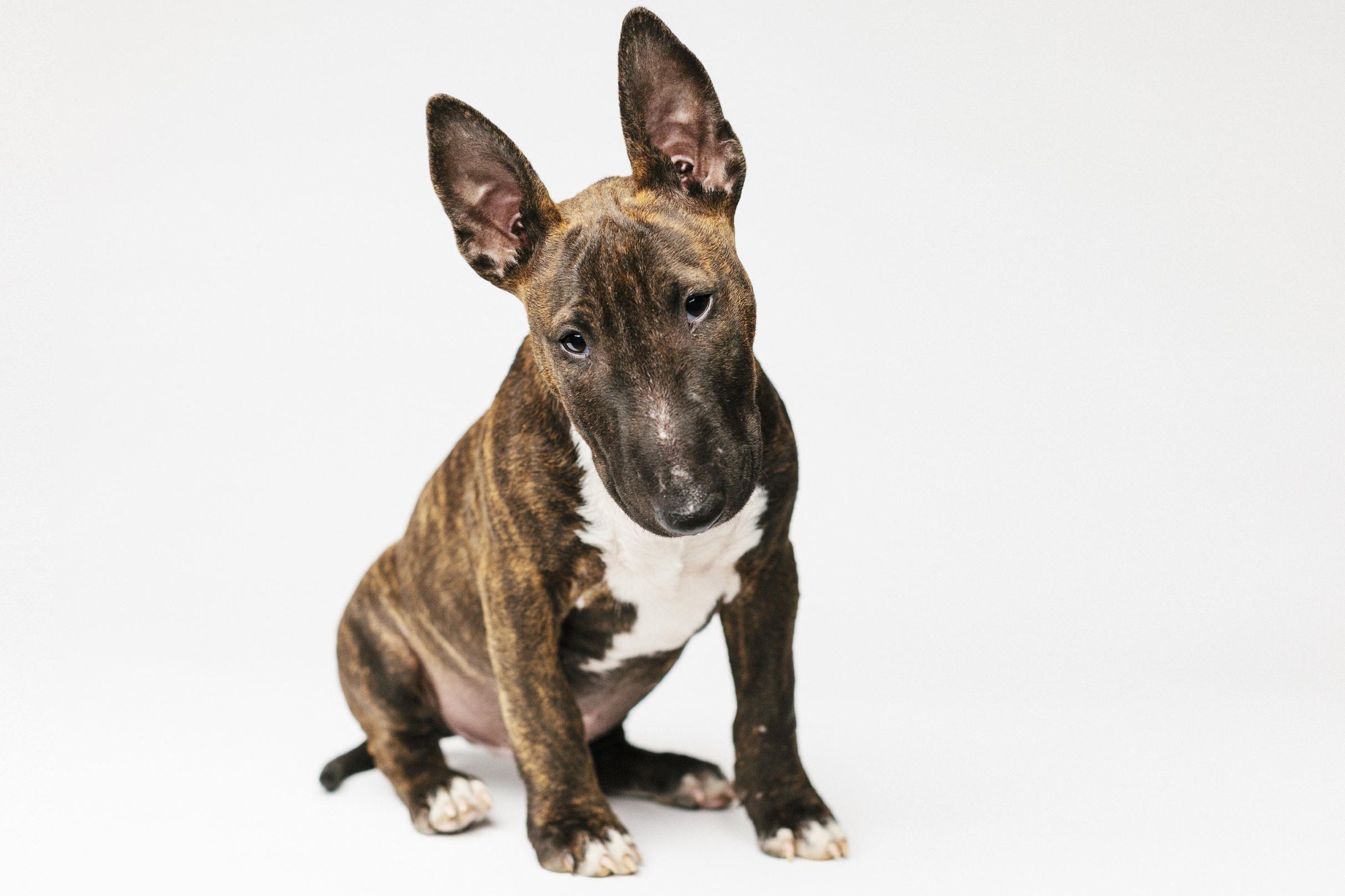 Bull-terrier - Doctissimo