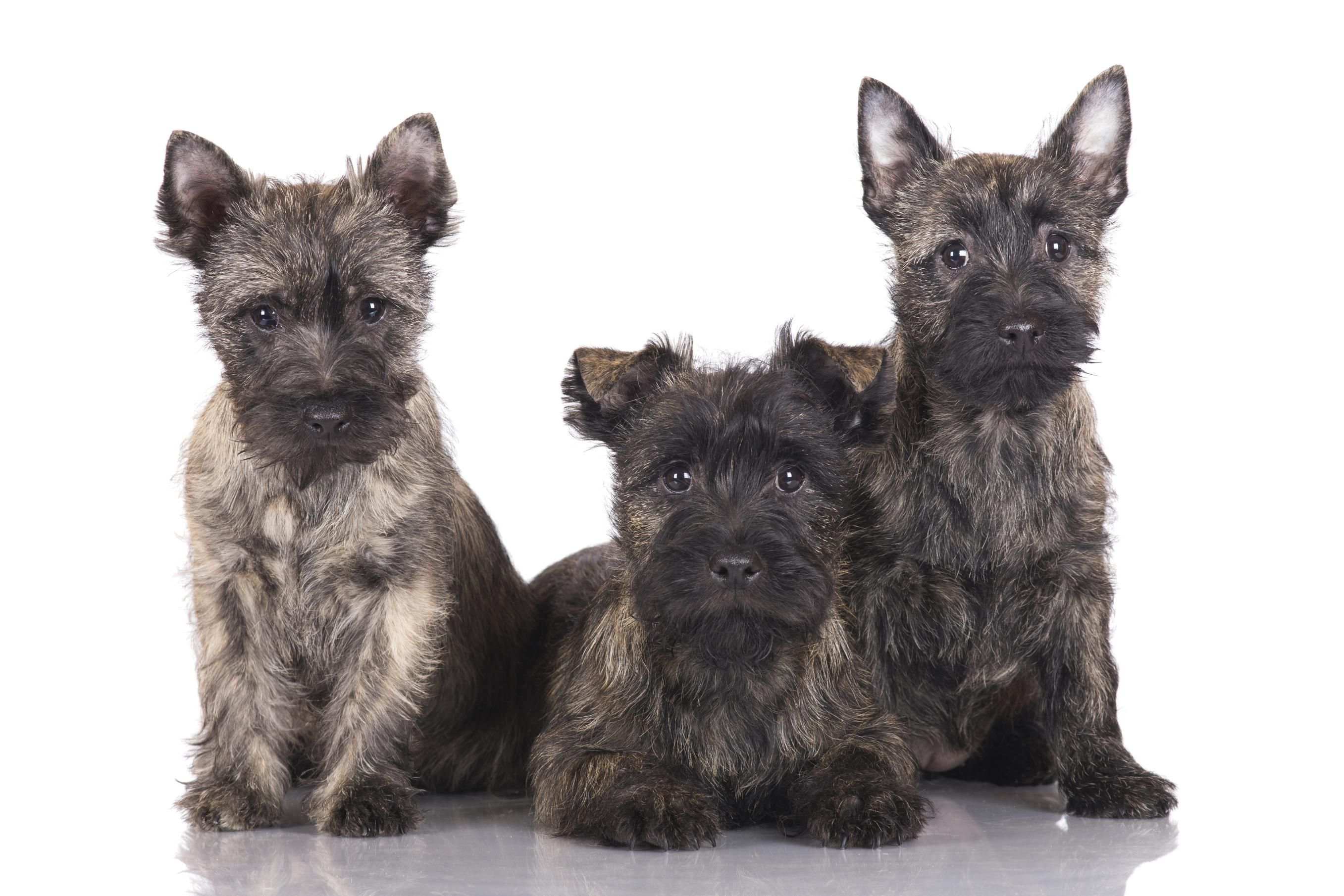 Terrier Doctissimo Doctissimo Cairn Cairn Terrier Doctissimo Terrier Cairn EWQdxBoerC