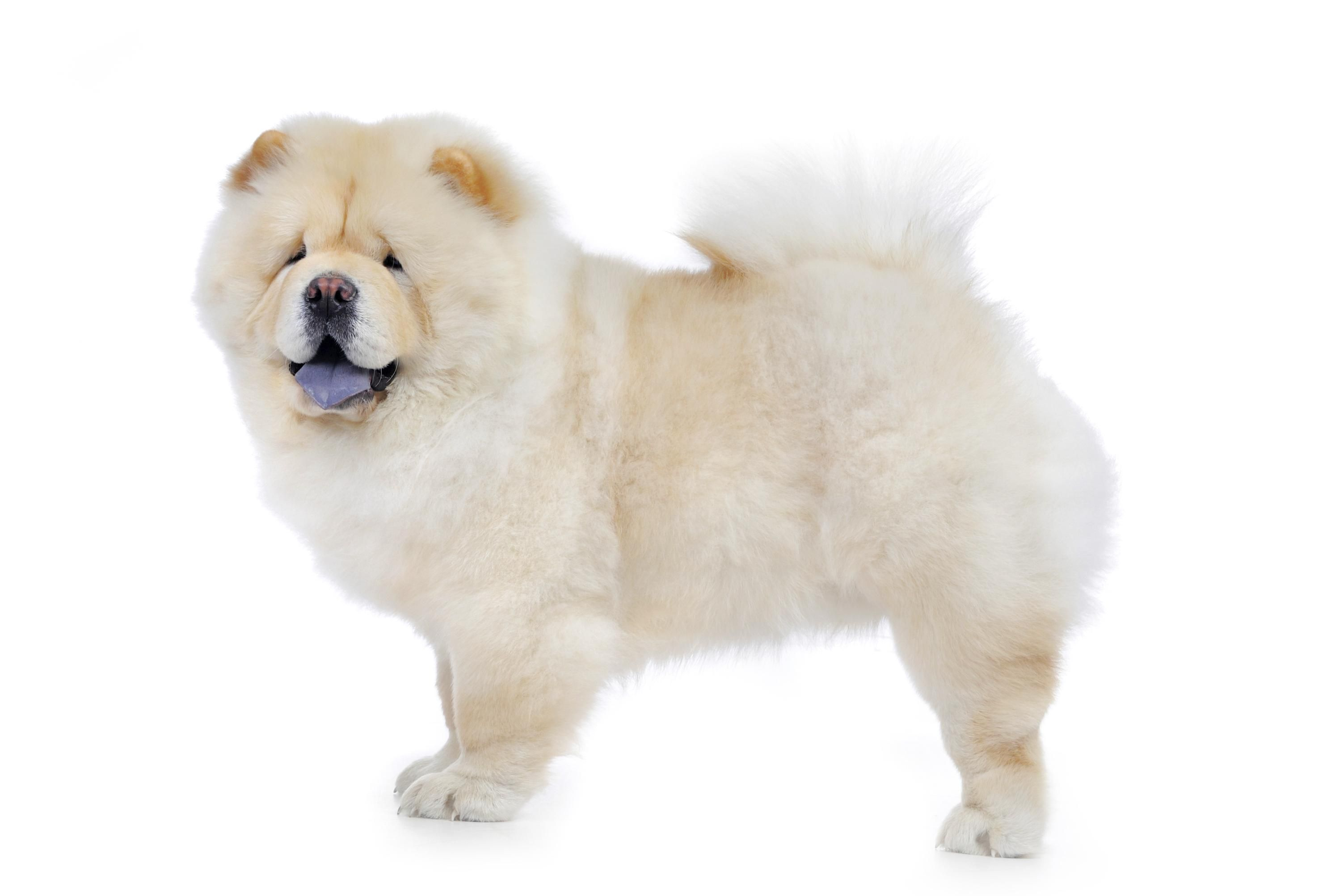 Chow Chow Doctissimo