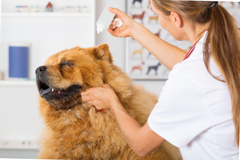 Donner des gouttes dans les oreilles d'un chien - Doctissimo