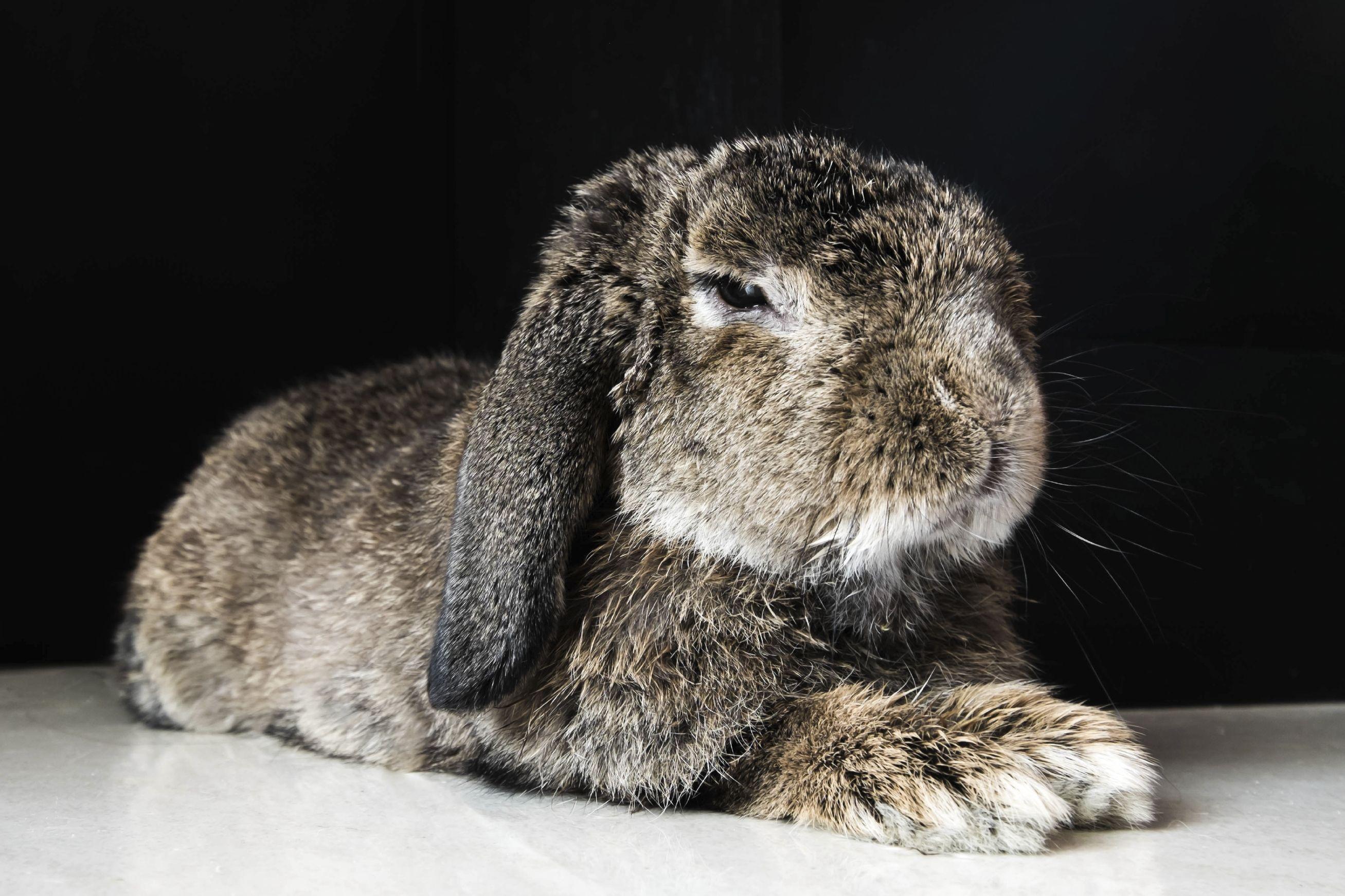 régime alimentaire et exercices pour le lapin domestiques