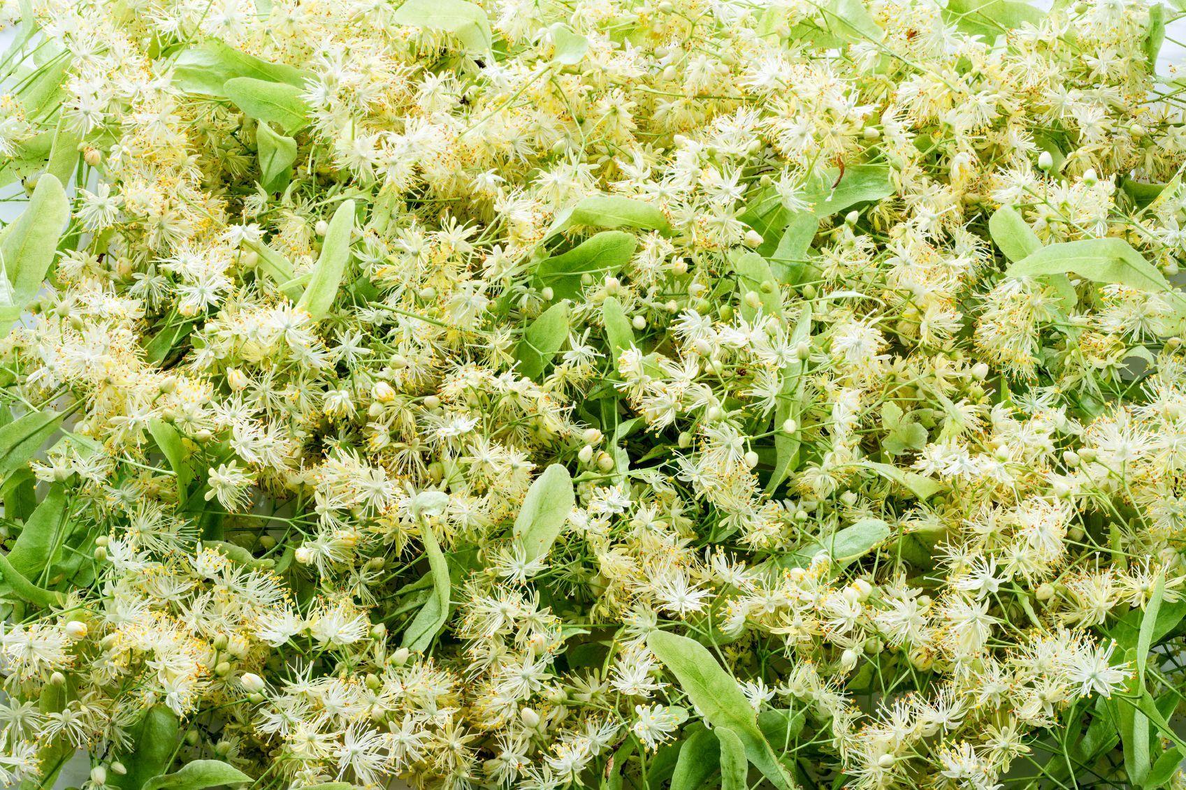tea tree utilisation et bienfaits de l 39 huile essentielle. Black Bedroom Furniture Sets. Home Design Ideas