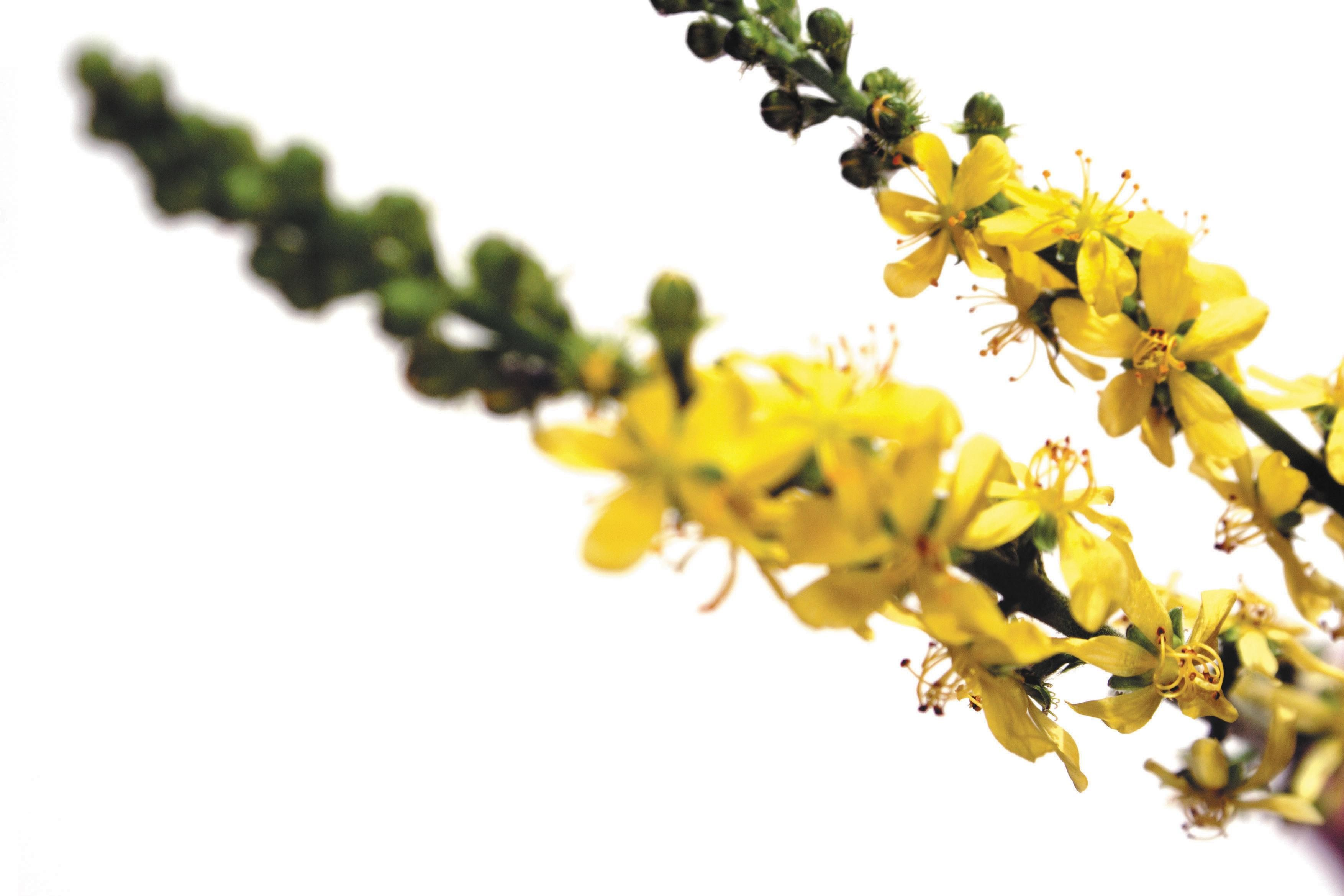 Agrimony Indications Et Utilisation De Aigremoine En Fleurs De
