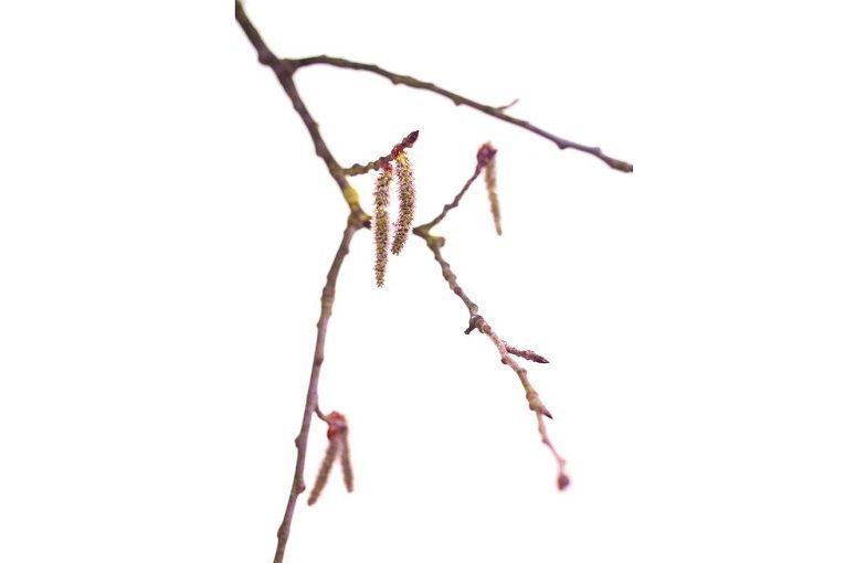 aspen tremble fleurs de bach
