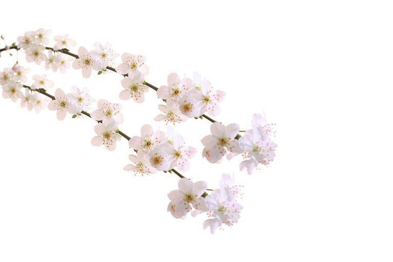 Cherry Plum Indications Et Utilisation De Cherry Plum En Fleurs De