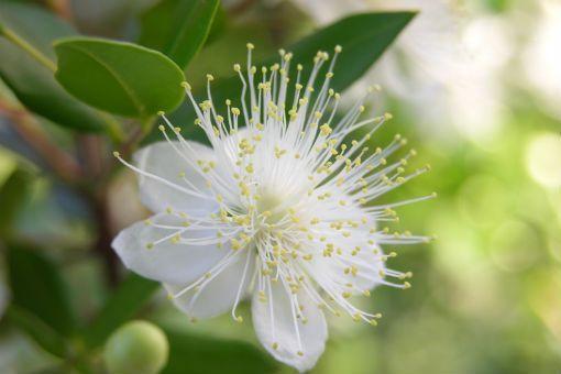 Eau florale de myrthe