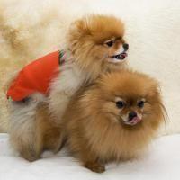 accouplement chiens