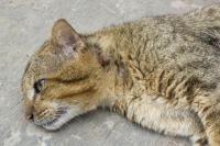 amaigrissement chez le chat