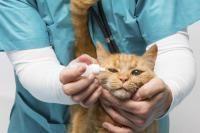 appliquer gouttes pour les yeux d'un chat