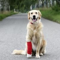 blessures pattes chien