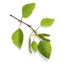 Complément Alimentaire Ginkgo Biloba | Effets secondaires - Santé par les plantes - Santé