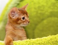 carcatère chaton