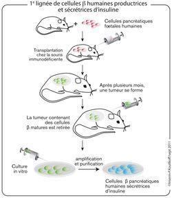 cellules-beta-souris.jpg
