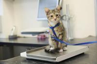 chat trop gros ou trop maigre