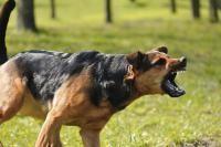 chien agressif