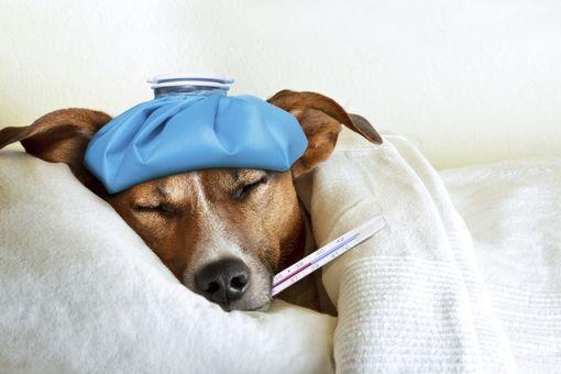 chien fièvre