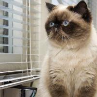 complications obésité chat