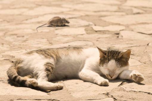 coup de chaleur chat