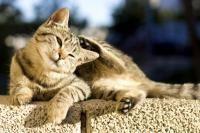 démangeaisons du chat