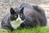 diabete du chat