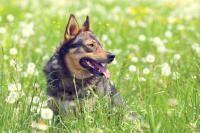 dyspnée chien