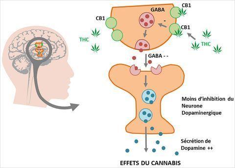 effets-du-cannabis