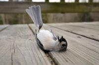 État de choc chez l'oiseau