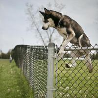 fugue du chien