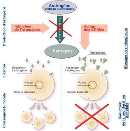 hormonothérapie cancer sein
