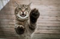hyperthyroïdie du chat