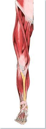 Muscles membres inférieures