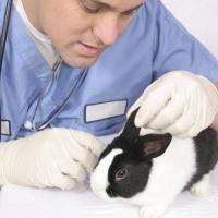 l'otite du lapin