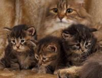 maladies génétiques du chat