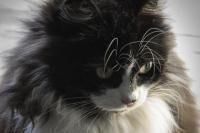 menus belle fourrure chat