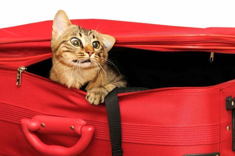 Mon chat est stressé par les voyages