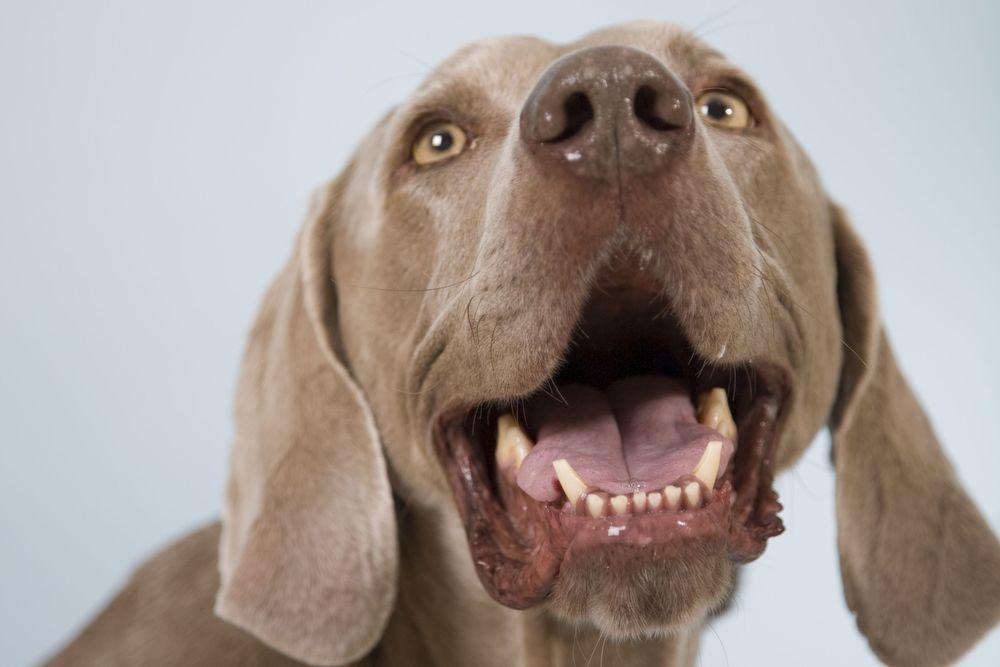 mauvaise haleine vieux chien