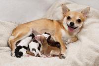 naissance des chiots
