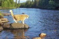 noyade chez le chat