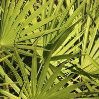 palmier-floride