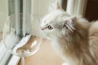 phéromones du chat