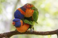 reproduction des oiseaux
