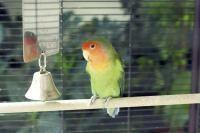 Rétention d'œuf chez l'oiseau