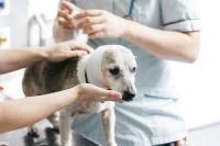 saignements du chien