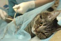stérilisation du chat
