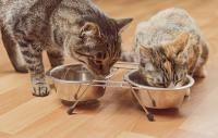 système digestif chat