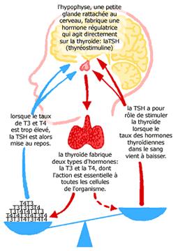 thyroxine (T4) et thyroxine libre (FT4)