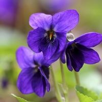 violette-odorante