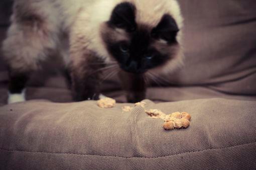 vomissement chat